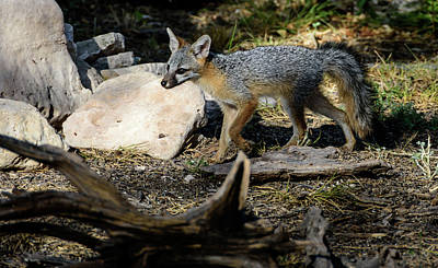 Photograph - Gray Fox by Debra Martz