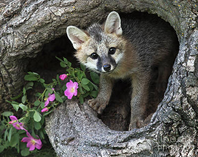 Photograph - Gray Fox Kit by Art Cole