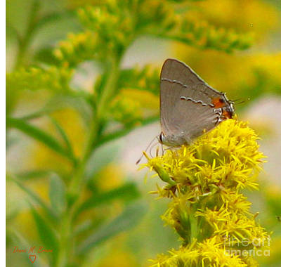 Donna Brown Photograph - Gray Hairstreak And Golden Rod by Donna Brown