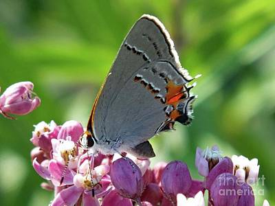 Animals Royalty-Free and Rights-Managed Images - Gray Hairstreak Butterfly by Cindy Treger