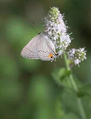 Photograph - Gray Hairstreak Butterfly by Joseph Skompski