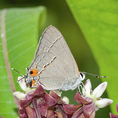 Photograph - Gray Hairstreak Butterfly On Milkweed by Lara Ellis