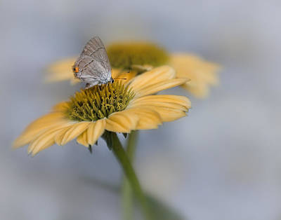 Photograph - Gray Hairstreak II by David and Carol Kelly