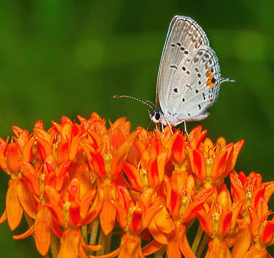 Photograph - Gray Hairstreak On Green And Orange 2 by Lara Ellis