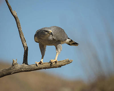 Photograph - Gray Hawk-img_242818 by Rosemary Woods-Desert Rose Images