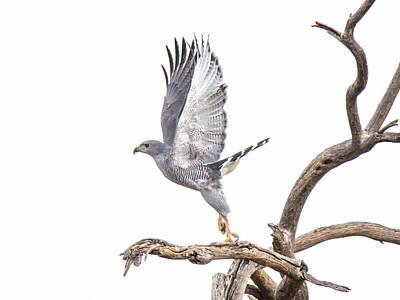 Photograph - Gray Hawk by Tam Ryan