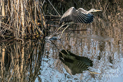 Photograph - Gray Heron Flew Up by Odon Czintos
