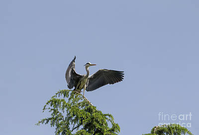 Photograph - Gray Heron by Pietro Ebner