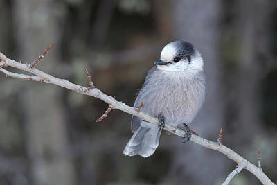 Photograph - Gray Jay by Celine Pollard