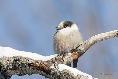 Photograph - Gray Jay by CR Courson