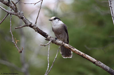Photograph - Gray Jay by James Petersen