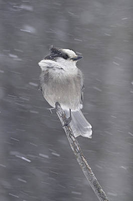 Gray Jay Art Print by Philippe Francis