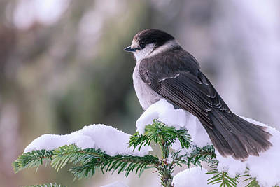 Photograph - Gray Jay by Windy Corduroy