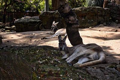 Parks - Gray Kangaroo Taronga Zoo by Mark J Dunn