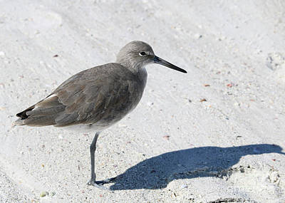 Photograph - Gray Sandpiper On White Beach by Carol Groenen