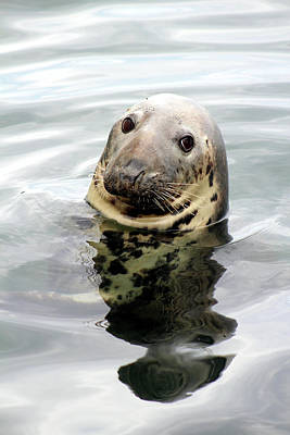 Photograph - Gray Seal by Linda Sannuti