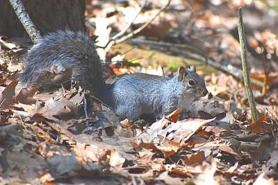 Photograph - Gray Squirrel 1 by Nina Kindred