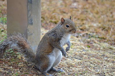 Photograph - Gray Squirrel 18-01 by Maria Urso
