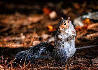 Photograph - Gray Squirrel Dance by Bob Orsillo