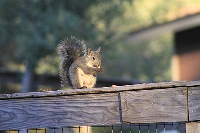 Photograph - Gray Squirrel Foraging by Diana Chase