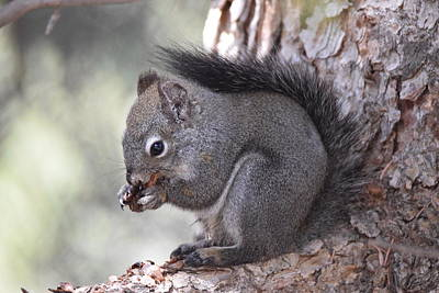Photograph - Gray Squirrel  by Margarethe Binkley