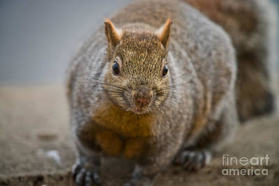 Gray Squirrel Pictures 102 Original by World Wildlife Photography