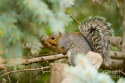 Gray Squirrel Pictures 91 Original by World Wildlife Photography