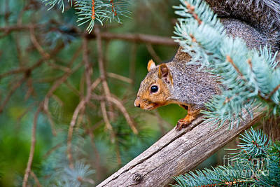 Gray Squirrel Pictures 93 Original by World Wildlife Photography