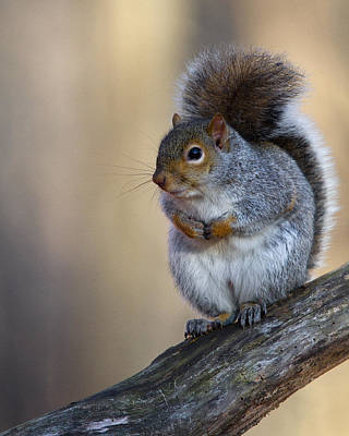 Photograph - Gray Squirrel by Timothy McIntyre