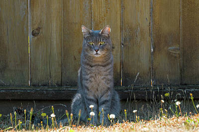 Wall Art - Photograph - Gray Tabby Cat Sitting By Fence by David Gn
