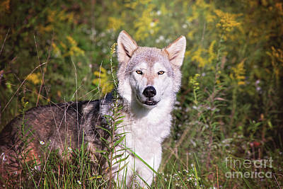 Photograph - Gray Timber Wolf In The Meadow by Sharon McConnell