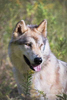 Photograph - Gray Timber Wolf Portrait by Sharon McConnell