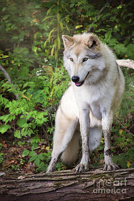 Photograph - Gray Timber Wolf by Sharon McConnell
