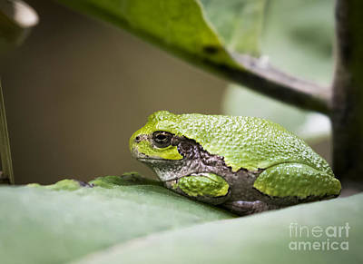 Photograph - Gray Tree Frog - North American Tree Frog by Ricky L Jones