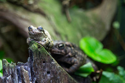 Photograph - Gray Tree Frog by SR Green