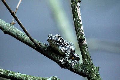 Photograph - Gray Treefrog by Debbie Oppermann