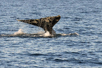 Gray Whale Fluke Original by Alan Lenk