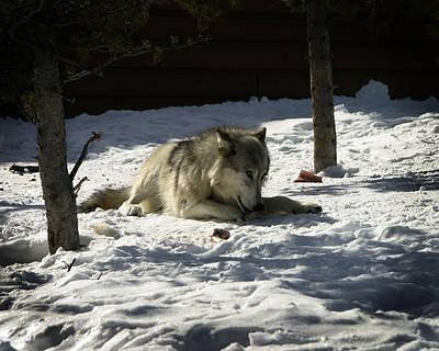 Photograph - Gray Wolf 2 by Anthony Jones