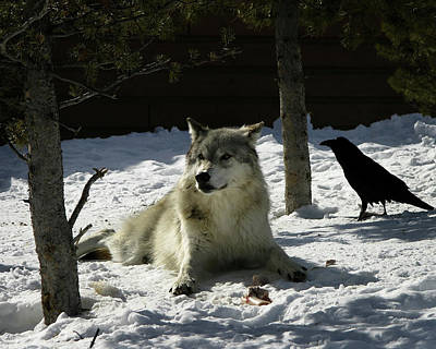 Photograph - Gray Wolf 4 by Anthony Jones