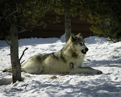 Photograph - Gray Wolf 6 by Anthony Jones