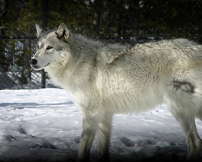Photograph - Gray Wolf 8 by Anthony Jones