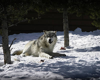 Photograph - Gray Wolf by Anthony Jones