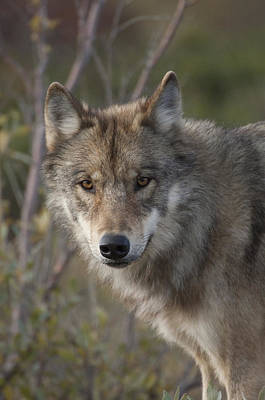 Timber Wolf Photograph - Gray Wolf Canis Lupus Portrait, Alaska by Michael Quinton