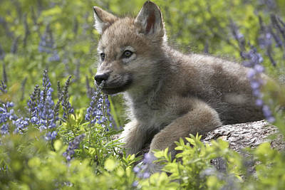 Timber Wolf Photograph - Gray Wolf Canis Lupus Pup Amid Lupine by Tim Fitzharris