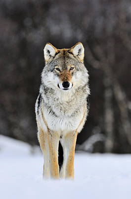 Photograph - Gray Wolf In The Snow by Jasper Doest
