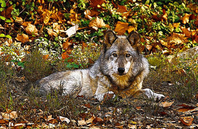 Photograph - Gray Wolf In Autumn by Sandy Keeton