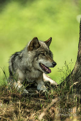 Gray Wolf In Shade Original