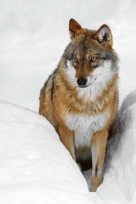 Photograph - Gray Wolf In Winter by Arterra Picture Library