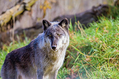 Nikki Vig Royalty-Free and Rights-Managed Images - Gray Wolf by Nikki Vig