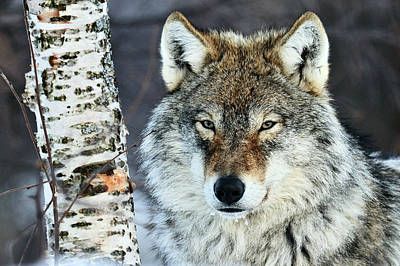 Photograph - Gray Wolf Portrait by Jasper Doest